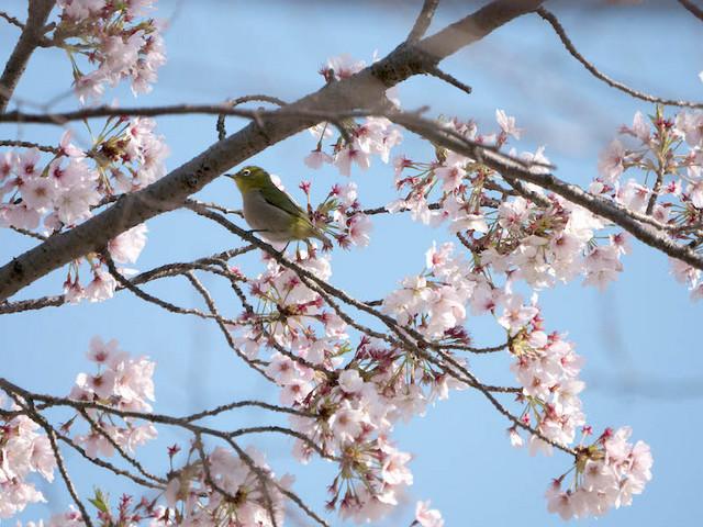 桜 メジロ.jpg
